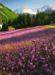 Krokusy w Dolinie Chochołowskiej, Poland Beautiful Nature Pictures, Beautiful World, Places Around The World, Travel Around The World, Wonderful Places, Beautiful Places, Field Of Dreams, Countries Of The World, Landscape Photos