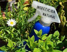 Las plantas de mi balcón estaban invadidas por una plaga de pulgones. Hice esta insecticida natural de ajo y en unos días, desaparecieron.