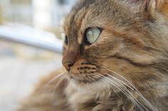 Cyprus fluffy cat