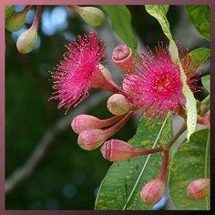 Pink Flowering Gum by Tatters:), via Flickr