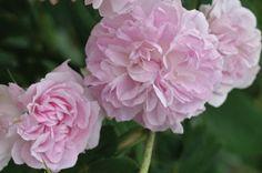 """Blush Damask"" - Light pink with a strong myrrh fragrance."