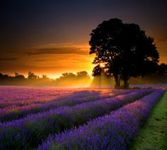 Sunset over the lavender fields of  Provence, France