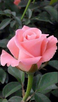 Resultado de imagem para pink rose