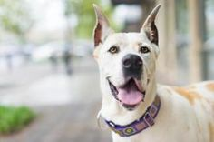 Ginger is an adoptable Great Dane Dog in Huntersville, NC. Please contact Great Dane Friends of Ruff Love   (greatdanefriend@yahoo.com ) for more information about this pet   Ginger is a 5 yr old fema...