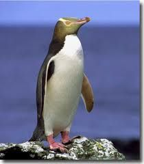Yellow-eyed Penguin.