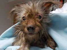 ugly poodle dog - Google Search