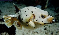 Black Spotted Puffer Fish. It looks like a dog.