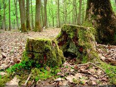www.photo-paysage.com albums Arbres-bois-forets Troncs Souche-1.jpg