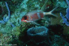 virgin islands fish images | Coral Reef Fish Pictures, Squirrelfish, Cardinalfish