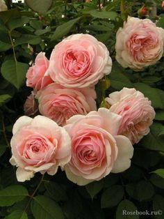 David Austin Roses 153