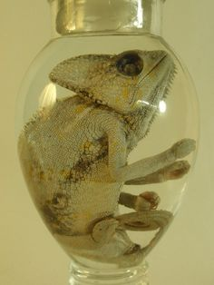Wet Specimen Chameleon Inside Old by thecuriodditiescabin on Etsy