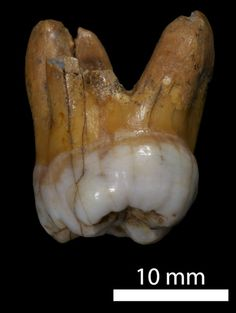 In 2012, scientists sequenced the genome of a species of extinct humans called Denisovans. The fossils were discovered in Denisova Cave in southern Siberia in 2008. Scientists estimate the fossils range anywhere from 30,000 to 80,000 years of age. Shown here is a Denisovan molar. Genetic analysis proved that it belonged to a little girl between 2 and 6 years old with dark skin, brown hair and brown eyes. Along with Neanderthals, Denisovans once interbred with us, modern humans.