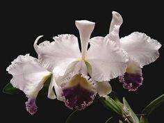 Cattleya warneri 'coerulea' x self #orchid #orchids #beautiful #flower