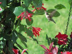 Hummingbird in Major Wheeler Honeysuckle