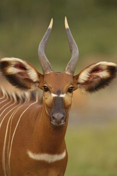 Africa | Portrait of a bongo antelope. Dzanga Ndoki National Park, Central African Republic | © National Geographic / Michael Fay