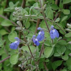 Buy Salvia chionophylla