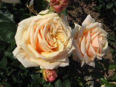 Róże wielkokwiatowe - bogactwo zapachów i kolorów - Diamond Jubilee