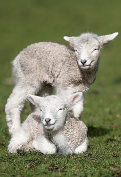 Healthy sheep have good fat-to-muscle ratios  | Show Lambs