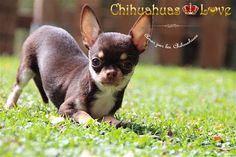 chihuahua color chocolate