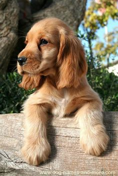 This cute Cocker Spaniel puppy is looking for unique brown dog names. Find more cute pics like these on our site...