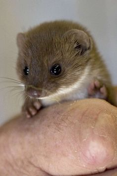 When you think of the word weasel this guy doesn't usually pop into your head. So adorable