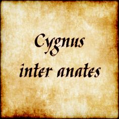 Cygnus inter anates - Swan among ducks( ;) ) Follow us at facebook.com/LatinQuotesPhrases