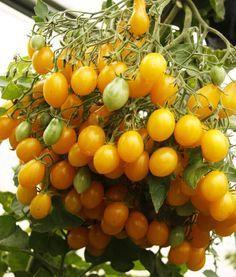 Опыт выращивания томатов от одной огородницы