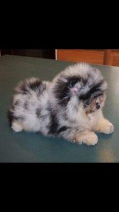 Australian shepherd Pomeranian mix. A aweeeeee! <3<3 I want one!