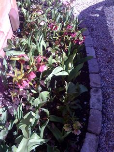 19 April 2013 : this bed of hellebores and emerging tulips looks more mature than expected since it was only created late last autumn.