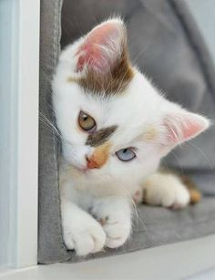 What a beautiful baby--a green eye, an ice blue eye, white fur, pink pads, ears, and nose, beautiful brown and blonde  markings.  So precious.