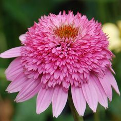 Echinacea Pink Double Delight from Great Garden Plants