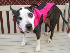 SAFE - 02/11/15 by Second Chance Rescue --- Manhattan Center   LADY - A1026494  *** EXPERIENCED HOME ***  FEMALE, BLACK / WHITE, PIT BULL MIX, 5 yrs SEIZED - ONHOLDHERE, HOLD FOR EVICTION Reason OWN EVICT  Intake condition EXAM REQ Intake Date 01/28/2015 https://www.facebook.com/photo.php?fbid=955182414494638