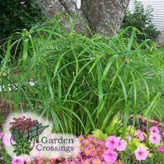 Graceful Grasses™ Baby Tut™ Cyperus involucratus (Papyrus Egyptian) mixed with petunias.