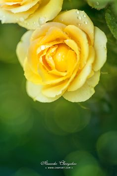 Yellow roses with water drops on its petals