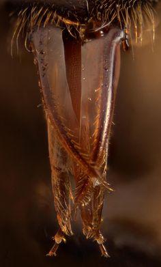 enlarged tongue of honey bee