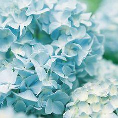 blue hydrengas
