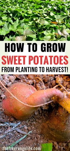 Grow, Harvest and Store Sweet Potatoes Vegetable Gardening Tips- How to grow sweet potatoes in your backyard garden.Vegetable Gardening Tips- How to grow sweet potatoes in your backyard garden. Fall Vegetables, Organic Vegetables, Growing Vegetables, Organic Fruit, Healthy Vegetables, Veggies, Garden Types, How To Garden, Big Garden