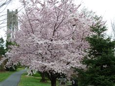 Prunus x yedoensis Cherry