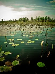 Okefenokee swamp i like the lily pads and the green that they bring to the scene