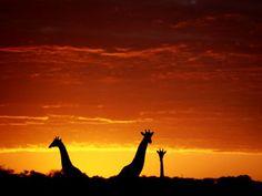 Here, three giraffes in Botswana's Okavango Delta stretch their necks above the horizon before a glowing orange sky. Photograph by Chris Johns.