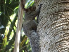 Squirrel on a palm tree at Bonner park. Fuji S1.