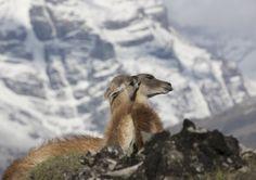 https://flic.kr/p/PyufLR | Chile | Chile. Guanacos in Torres del Paine National Park.