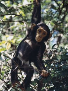 Cartoon Monkey Hanging From Tree | Monkey Hanging from a Tree Branch Photographic Print by Nigel Pavitt ...