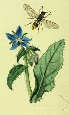 """Borage - Borago officinalis - Beautiful powder blue, star-like flowers attract bees and are edible - Bristled, gray-green cucumber flavored leaves can be added to salads when young - Known as the """"Herb of Gladness"""" for its calming properties - circa 1840"""