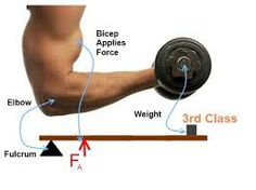 3 classes of levers in human body - Google Search
