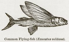 Common Flying-Fish (Exocoetus Volitans). Illustration for Blackie's Modern Cyclopedia (1899).