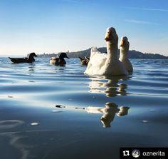 #Repost @oznerita  Raiders!!! Sos!!! . . . . #laketrasimeno #trasimenolake #swanlake #sun #instalike #picoftheday #sunrise #ig_italy #igersitalia #igersumbria #ig_perugia #ig_nature #volgoitalia #volgoumbria #italytrip #volgoperugia #bestvacations #lake #me #oznerita