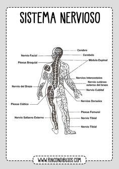 anatomía del nervio oculomotor emedicina diabetes