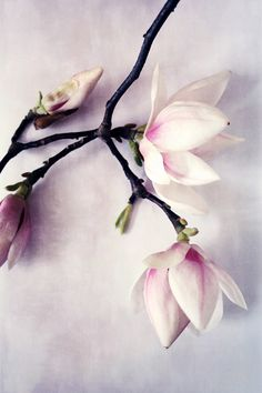 Dreaming of a Magnolia tree in the back yard.
