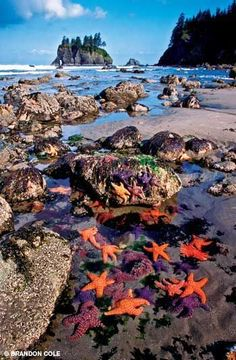 #Ocre sea stars Olympic Mountains, Washington.